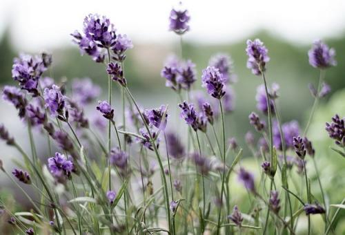 lavender-399273_640
