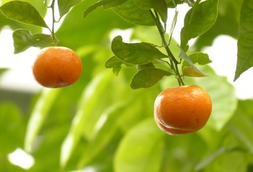 mandarin-93695_640